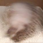 ハリネズミの砂浴び砂遊び