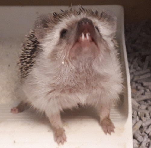 ハリネズミ出っ歯
