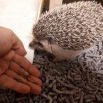手から餌を食べるハリネズミ