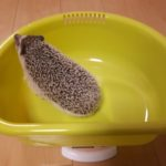 ハリネズミの体重測定