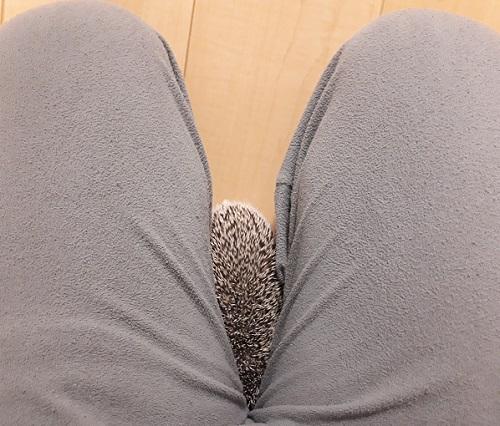 股の間に入るハリネズミ