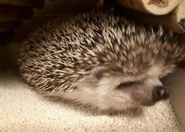 寝起きのハリネズミ