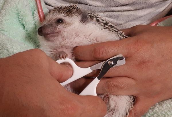 ハリネズミの爪切り